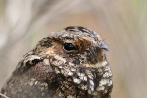 Puerto Rico, nightjar, up-close, head, caprimulgus, noctitherus