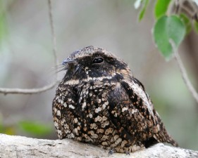 puerto, Rican, nightjar, sitting, tree, branch