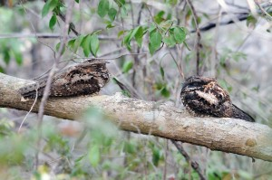 two, Puerto, Rican, nightjars, sitting, tree, branch