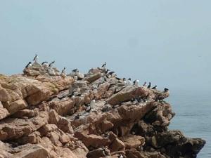 Atlantique, macareux, pingouins torda, le rock, le maine, côtières, les îles