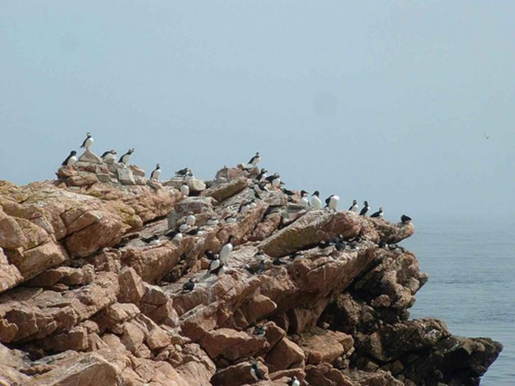 Atlantic, puffins, razorbills, rock, maine, coastal, islands