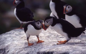 Atlantic, puffins, birds, fratercula Arctica
