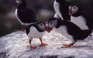 Atlantic, puffins, birds, fratercula Arctica