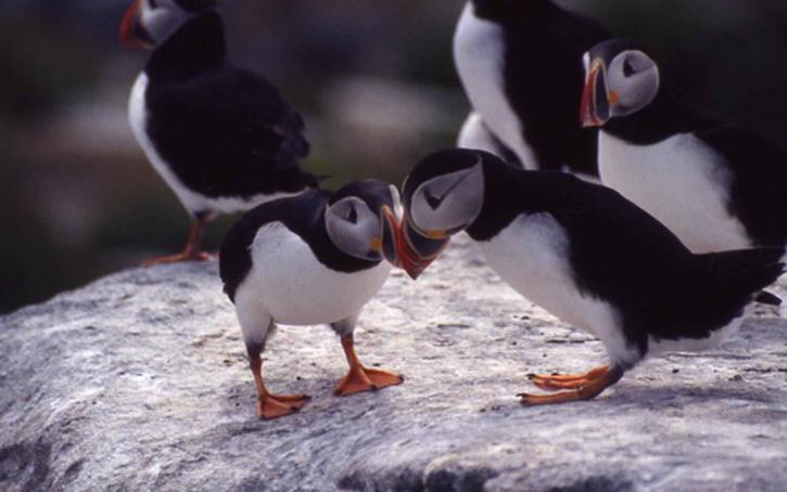 Atlantic, lundefugl, fugler, fratercula Arctica