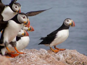 Atlantic, puffins, landing, rock, maine, coastal, islands, wilderness, refuge, complex