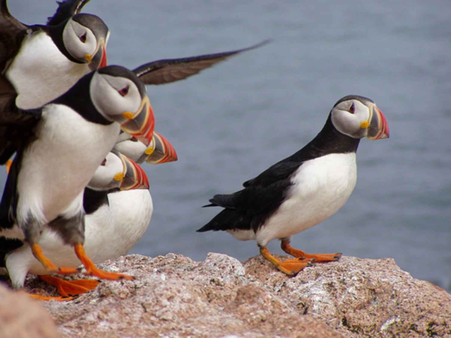 Atlantic puffins landing on rock at maine coastal islands national wildlife refuge complex free stock picture