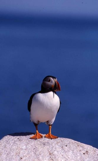 bird, up-close, Atlantic, puffin