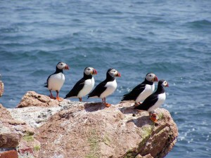birds, fratercula Arctica, Atlantic, puffin