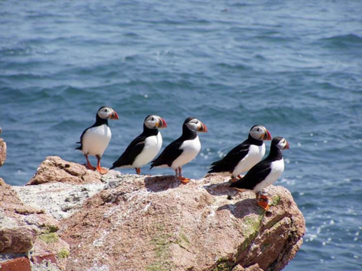birds, fratercula Arctica, Atlantic, puffin
