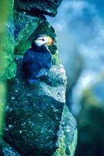 horned, puffin, bird, fratercula corniculata