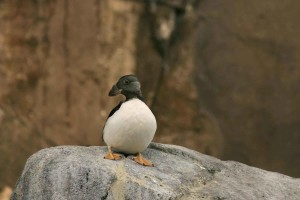 horned, puffin, winter, plumage