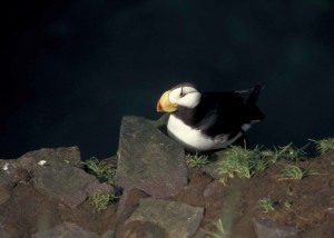 horned, puffin, hall, island