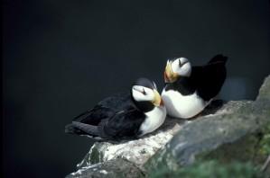 horned, puffin, pair, fratercula corniculata