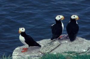 horned, puffin, trio, birds, fratercula corniculata