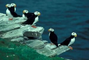 horned, puffins, birds, puffin, island, fratercula corniculata