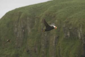 up-close, tufted, puffin, bird, flying, fraterculata, cirrhata