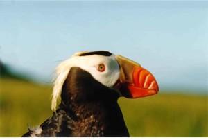 macro, image, tufted, puffin, bird, head