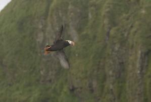 tufted, puffin, bird, flying, cliffs