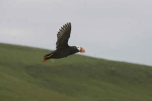 tufted, puffin, bird, flying, fraterculata, cirrhata