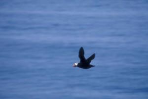 tufted, puffin, bird, flight, fratercula cirrhata