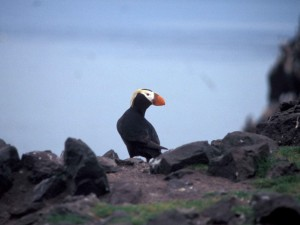 tufted, puffin, bird, looking, shoulder