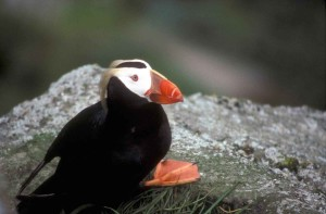 tufted, puffin, bird, posing, camera
