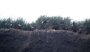 tufted, puffin, burrows