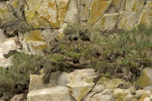 tufted, puffin, burrows, nests, cliffs
