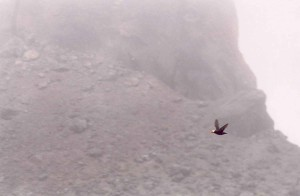 tufted, puffin, flight