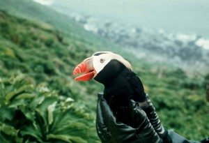 tufted, puffin, hand, macro, animal, bird, photography