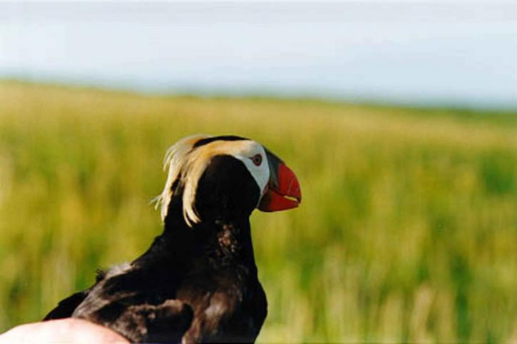 tufted, puffin, hands, up-close, head, bird