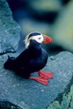 tufted, puffin, male, bird, portrait