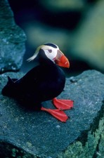 tufted, puffin, male, rocks
