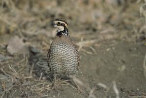 bobwhite, quail, bird, colinus, virginianus
