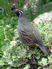 california, quail, standing, branch, bush