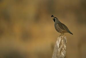 california, quail, standing, stump