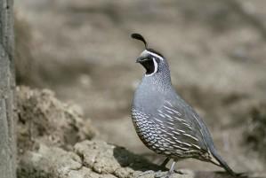 up-close, quail, standing, rock, california, quail