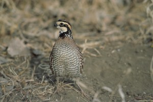 up-close, quail, standing, full, frontal, view