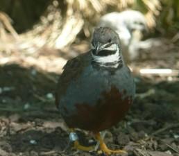 coturnix, coturnix, quail, bird