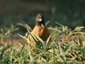 masked, bobwhite bird