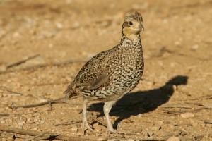 masqué, oiseau de Virginie, Colinus, virginianus, ridgwayi