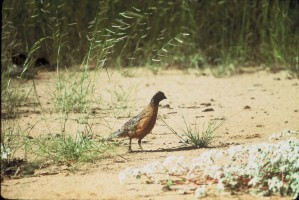masked, bobwhite bird, ground, colinus, virginianus, ridgwayi