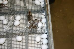 masked, bobwhite, quail, hatchlings, eggs