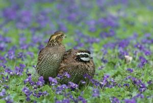 Northern Bobwhite, quaglie, uccelli, Colinus, virginianus