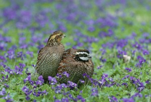northern bobwhite, quail, birds, colinus, virginianus