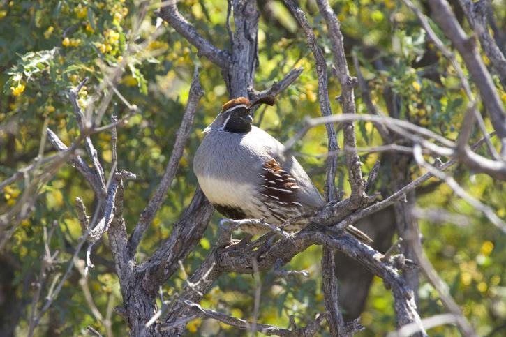 quail, peacefully, tree