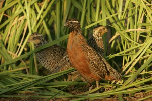 three, endangered, masked, bobwhite, quails