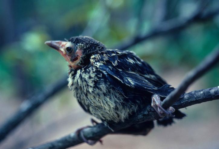 Quiscalus, quiscula, grackle, oiseau