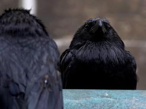ptice, Gavrani, perje, crni