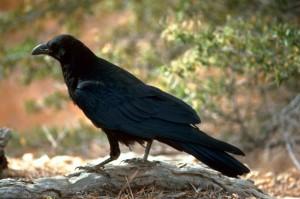 чорний, ворон, птах